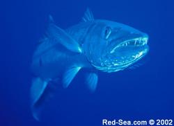 Barracuda - Daedelus Reef