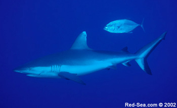 Grey Reef Shark - Rocky Island